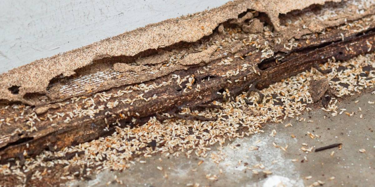 Timber Pest Inspections Adelaide