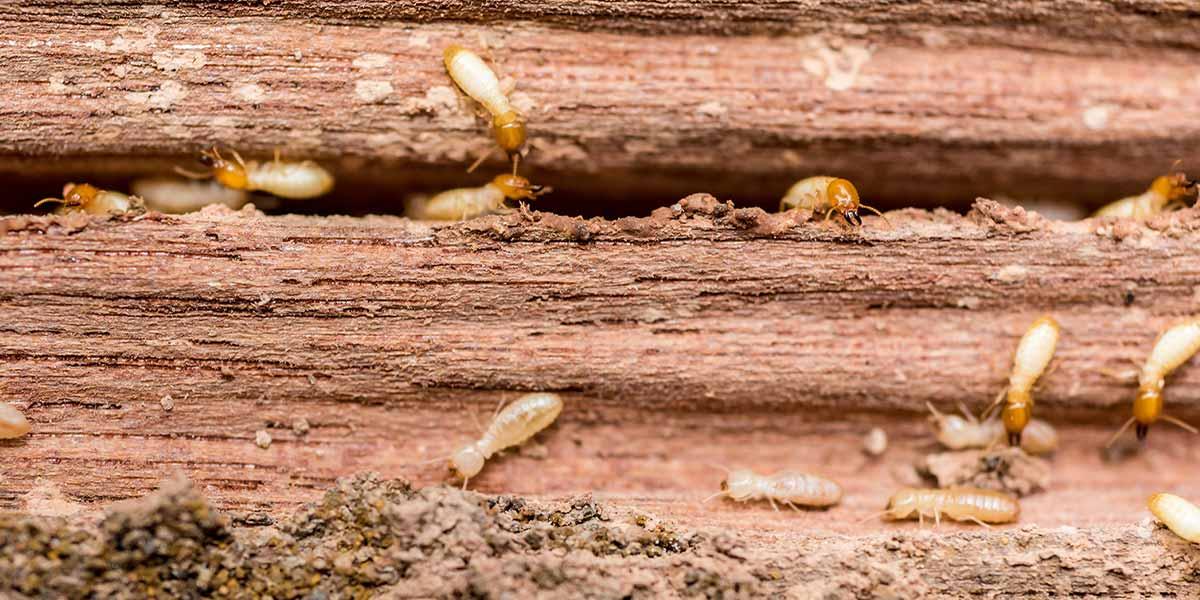 eco pest control adelaide